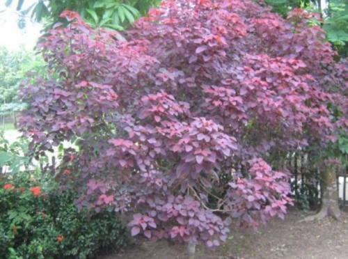 N° 131-1-Prunus.jpg