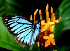 Papillon_2.jpg